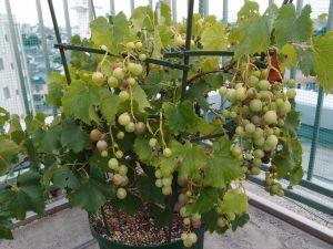 鉢植えのブドウ